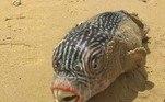 Onde viu seres como esse: um peixe especialista em ficar inchado quando ameaçado
