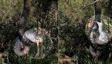 Serpente pendurada em árvore é flagrada com boca cheia de gambá