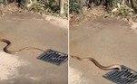 Uma cobra-marrom-oriental, considerada a serpente mais mortal da Austrália, foi flagrada saindo do ralo de uma rua movimentada, próxima a uma praia ao sul de Adelaide