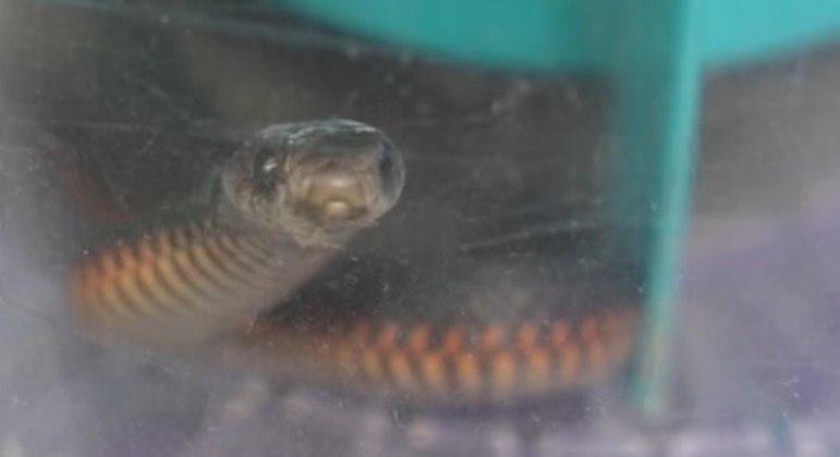 Serpente venenosa foi sugada por aspirador de pó após invadir casa na Austrália