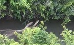A cena inusitada foi compartilhada no Twitter porSusanta Nanda, oficial do Serviço Florestal Indiano