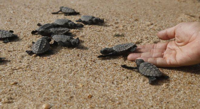 Cinco espécies de tartarugas estão ameaçadas de extinção