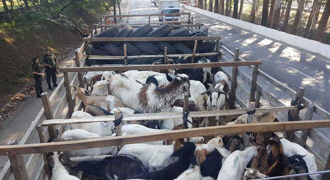 Cerca de 160 carneiros e cabras foram vítimas de maus-tratos