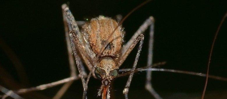 Vírus também é transmitido pelo pernilongo comum