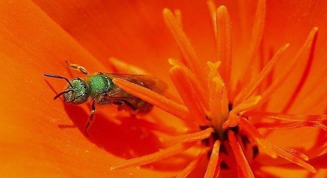 As chamadas 'Sweat bees' são abelhas atraídas pela transpiração do corpo humano, mas que também se alimentam de lágrimas