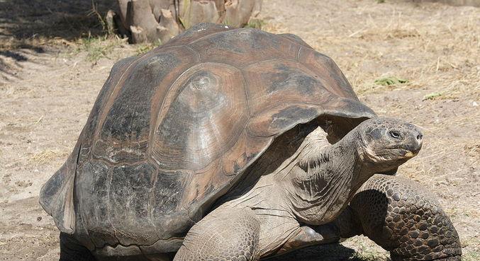 Uma tartaruga gigante originária das Ilhas Galápagos
