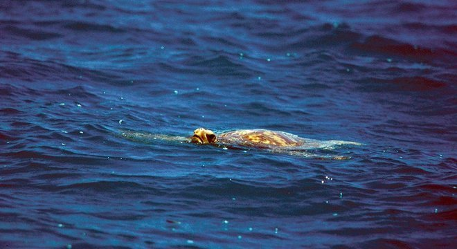 As tartarugas marinhas forneceram carne aos Robertsons, além de um suprimento vital de gordura sob seus cascos e sangue, o que ajudou a manter a família viva