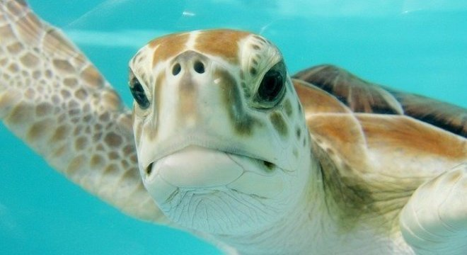 Tartarugas expostas ao cheiro de comida têm a tendência de comer plástico
