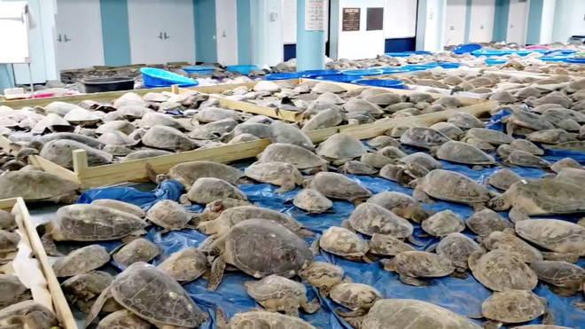 Milhares de tartarugas foram resgatadas do frio do Texas. Pelo menos 4,7 mil animais foram retiradas da praia de South Padre Island, na costa suldo estado