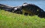 No período de acasalamento, é comum os jacarés saírem dos pântanos e entrarem nas casa, principalmente as que ficam à beira-marNÃO PERCA:Tentáculos translúcidos sobre cano de metal intriga casal de banhistas