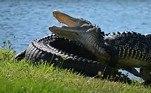 'Lesões graves causadas por crocodilos são raras na Flórida, mas se você estiver preocupado com um jacaré, ligue para as autoridades mais próximas', completa o artigoLEIA ISSO:Pentágono confirma que navio da Marinha filmou óvnis triangulares