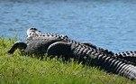 'Embora muitos moradores da Flórida tenham aprendido a coexistir com crocodilos, o potencial para conflito sempre existe', continua o texto