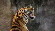 Dois tigres são abatidos da China após matarem cuidador