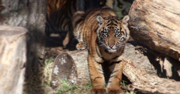 Tigre ataca e quase mata mulher em zoológico do Kansas, nos EUA