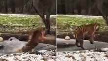 Tigre percebe camada de gelo fino sob as patas, mas já era tarde