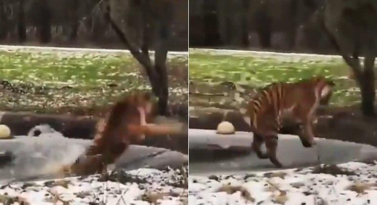 Tigre percebeu a fria que estava prestes a entrar, mas não há tempo de evitá-la