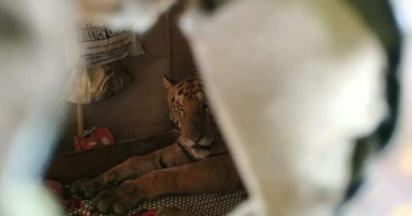 Tigre invade casa e usa cama para soneca após enchentes na Índia