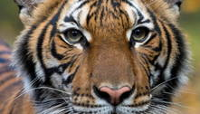 Zoo do Bronx, em Nova York, tem 5 tigres e 3 leões com coronavírus