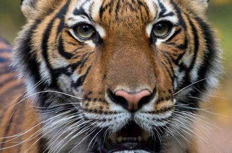 Nadia, uma tigresa de 4 anos, foi infectada pelo coronavírus