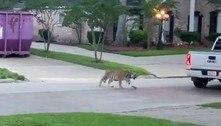 Tigre feroz escapa de zoológico ilegal e espalha pânico em bairro