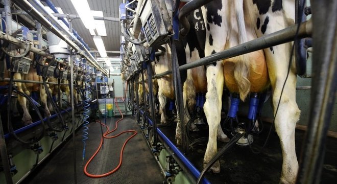 Tirando leite de vacas