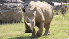 Morreu, aos 54 anos, o rinoceronte-branco mais velho do mundo