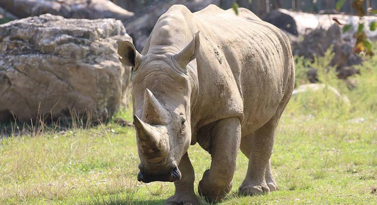 Toby, o rinoceronte-branco mais velho do mundo, morreu aos 54 anos