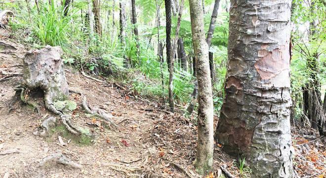 As árvores vizinhas compartilham água com o toco em um extraordinário mecanismo de 'sincronia reversa'