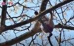 Além de torturas, macacos na região também são usados como mão de obra para produção de diversos produtos agrícolasNÃO VÁ EMBORA:A incrível história de John Daniel, o gorila criado como uma criança