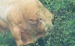 Pelas imagens registradas por eles e posteriormente publicadas no Facebook, é possível ver que o touro musculoso estava bastante bravo.