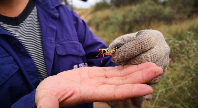Trabalhador de equipe de controle dos gafanhotos mostra exemplar em La Rioja