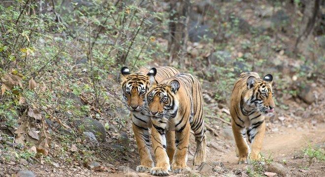 Dados oficiais mostram que, na Índia, 92 pessoas morreram devoradas por tigres entre 2014 e 2017