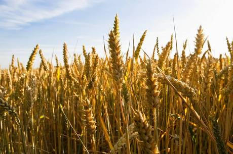 Preço do trigo está em alta no mercado internacional