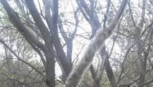 Tronco com milhares de lagartas deixa árvore com aparência furry