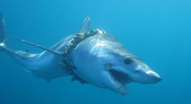 Tubarão cresceu com uma corda usada em pescas ao redor do pescoço