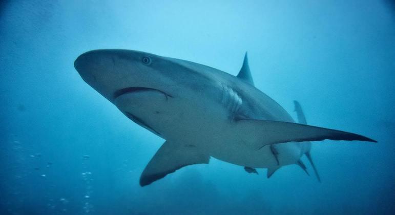 Pesca predatória e mudanças climáticas ameaçam espécies de tubarões