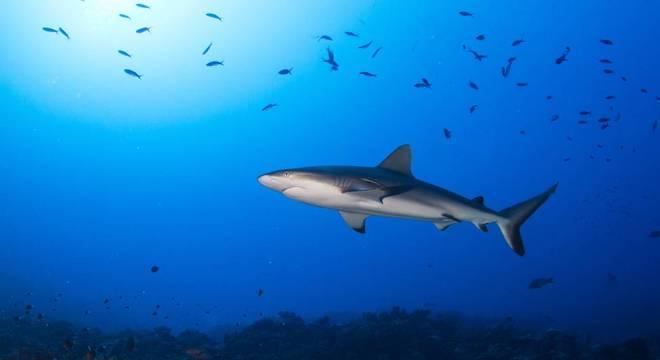 Algumas espécies de tubarão e outros peixes com gasto energético elevado serão prejudicados pela menor disponibilidade de oxigênio dissolvido na água, aponta estudo