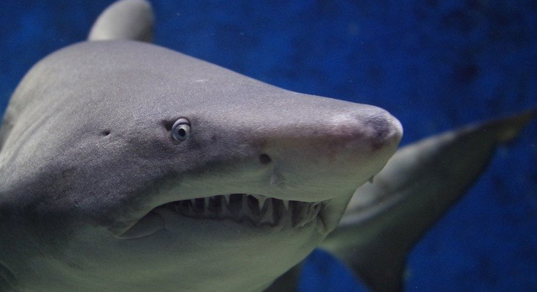 Médico australiano divulga pesquisa sobre técnica que pode salvar uma vítima de ataque de tubarão