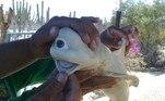 Pescadores encontraram um feto de tubarão albino e com um olho só dentro de uma fêmea grávida que ficou presa em uma rede
