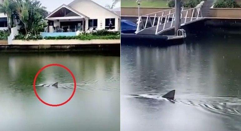 Tubarão-touro invadiu canal em área residencial de luxo na Austrália