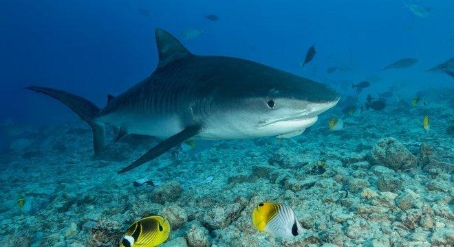 Examinadores encontraram a mão e a aliança de casamento do homem dentro de um tubarão-tigre