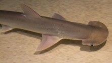Tubarões usam o campo magnético da Terra como um GPS, diz estudo