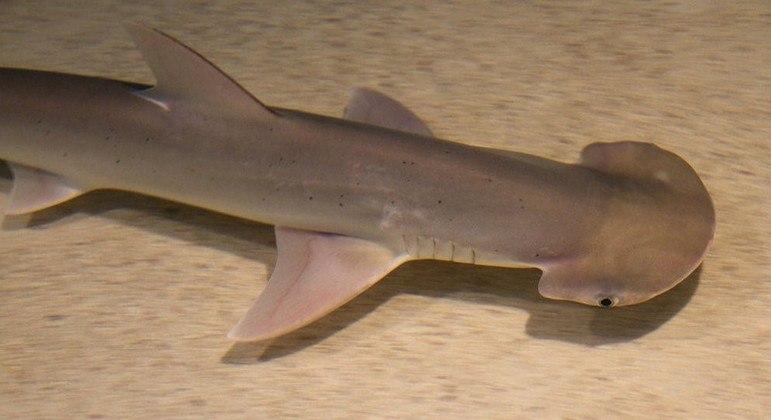 Tubarões utilizam o campo magnético da Terra para voltar para suas regiões de origem
