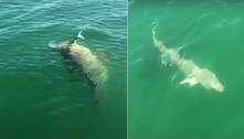 Tubarão fisgado por pescadores é devorado por peixe gigantesco