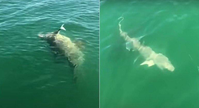 Tubarão foi fisgado por pescadores, mas acabou devorado por garoupa-gigante