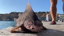 Tubarão com aparência de porco é encontrado em ilha italiana