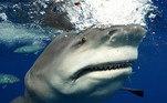 As fotos revelaram detalhes raramente vistos em fotos de tubarões da espécie, como as fileiras de dentes também enormes dela