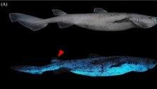 Tubarões que brilham no escuro são fotografados pela primeira vez