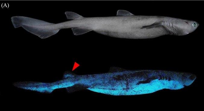 Esses tubarões podem medir até 2 metros de comprimento