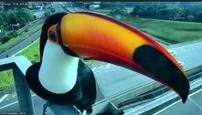 Tucanos são flagrados por câmera de rodovia em Campinas (SP)